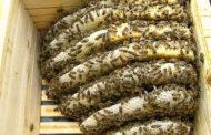 Македонската иновативна кошничка Elle Hive ќе ги спасува пчелите од изумирање
