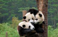 Кина ќе прави џиновски парк за панди со површина од 26.000 км2