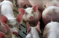 Alibaba одгледува свињи со помош на вештачка интелигенција