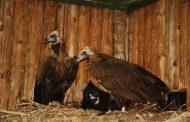 Најголемиот европски мршојадец се враќа во Бугарија