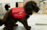 Кучињата во Велика Британија ќе се обучуваат да откриваат рак на цревата кај луѓето