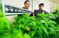 Медицинскиот канабис легализиран и во Јужна Кореја