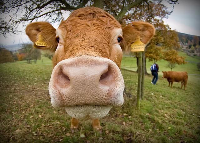 Автобусите во овој град во Пакистан ќе возат на гориво направено од кравји измет