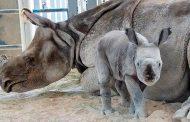 ВИДЕО: Се роди првиот носорог во светот зачнат со вештачко оплодување