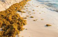ВИДЕО: Научници во Мексико ја претвораат опасната морска трева во зелена енергија