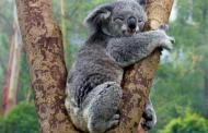 На коалите им се заканува истребување!
