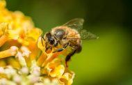 Во Бразил последните три месеци умреле 500 милиони пчели