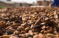 Уште еден извор на зелена енергија е омиленото слатко задоволство – чоколадото
