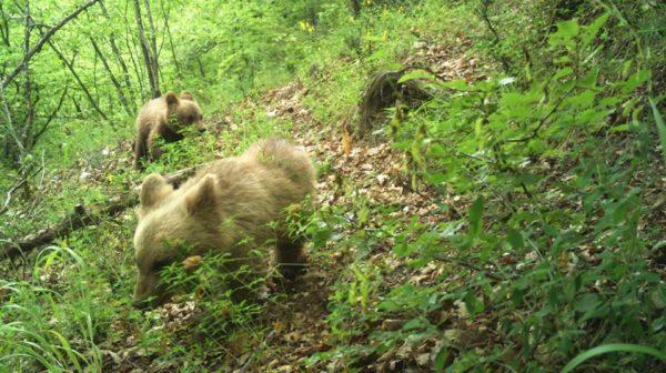 Националниот парк Маврово објави фотографија од две мечиња