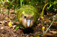 На птиците во Нов Зеланд ќе им требаат 50 милиони години за да се опорават од штетата која им ја нанесуваат луѓето