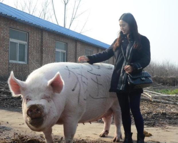 Кинески фармери почнаа да одгледуваат свињи големи колку поларни мечки